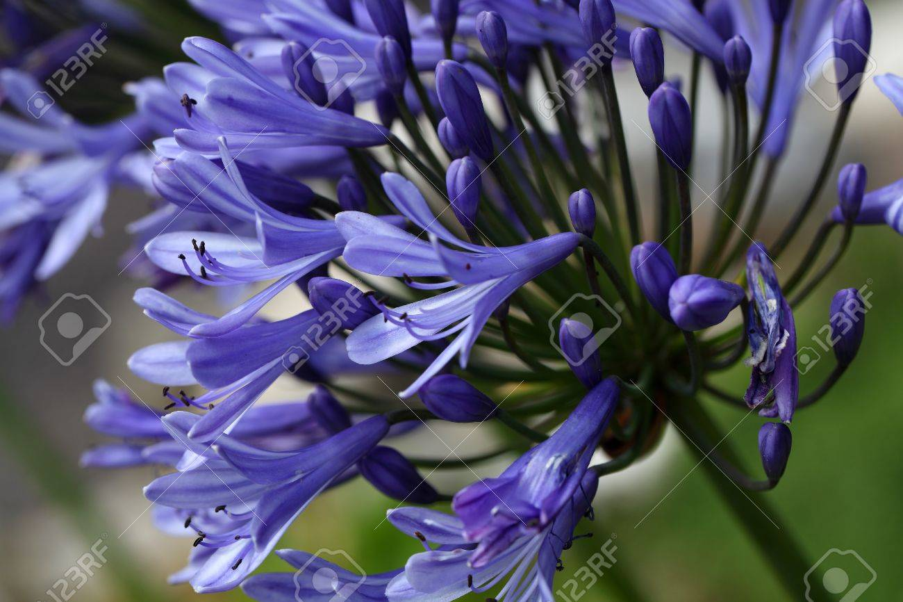 Flower of a lily of the nile agapanthus sp stock photo picture flower of a lily of the nile agapanthus sp stock photo 62052099 izmirmasajfo