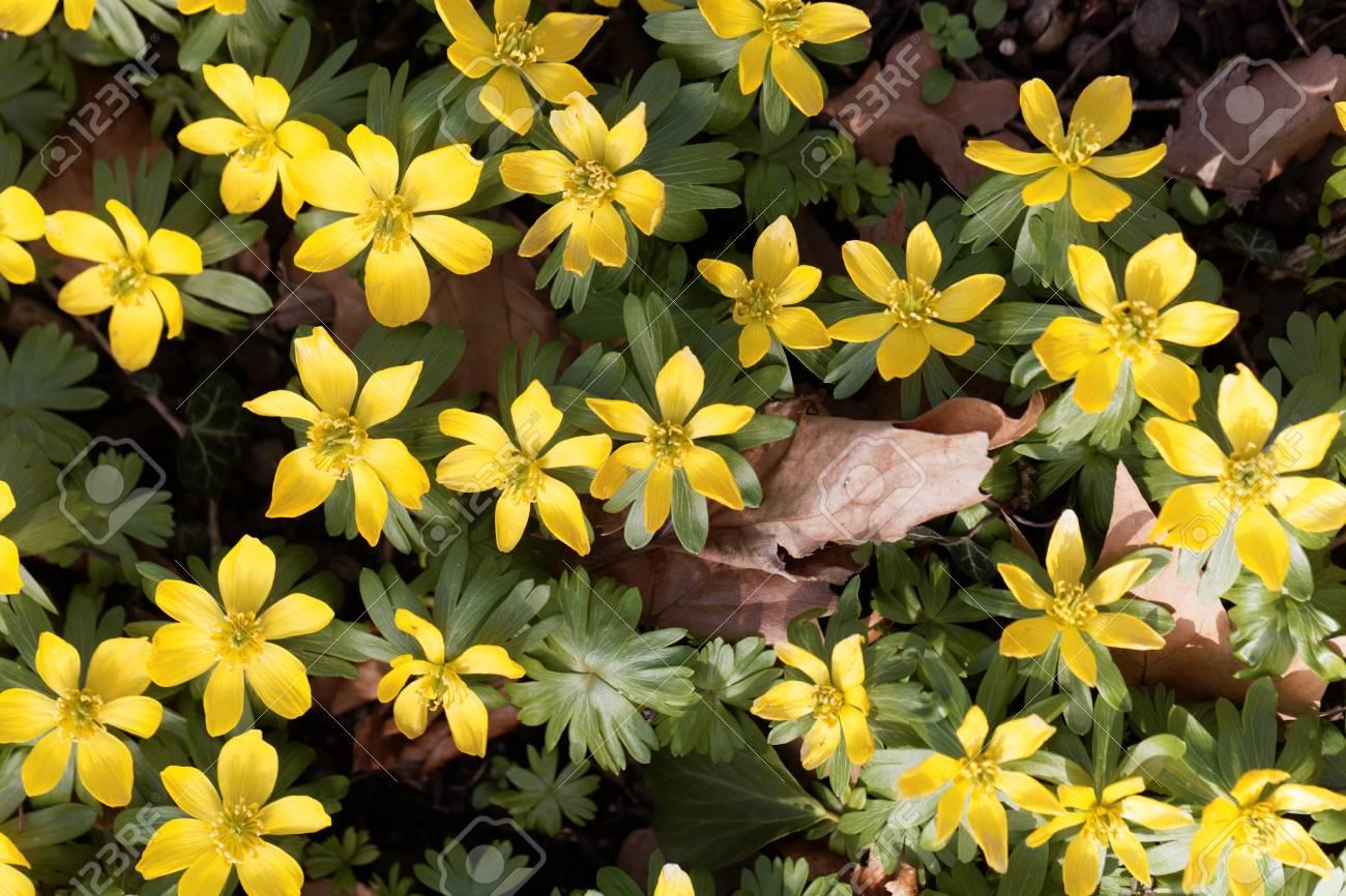 Yellow Flowers Of Winter Aconite Eranthis Hyemalis Stock Photo