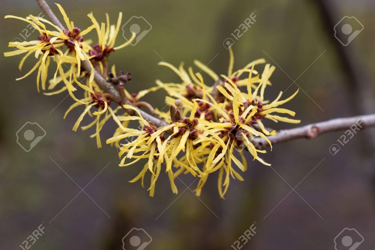 Flower Of A Chinese Witch Hazel Hamamelis Mollis Stock Photo