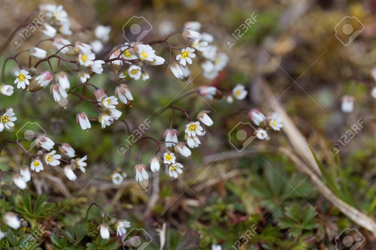 Flowers of spring draba draba verna a small early spring flower flowers of spring draba draba verna a small early spring flower stock mightylinksfo