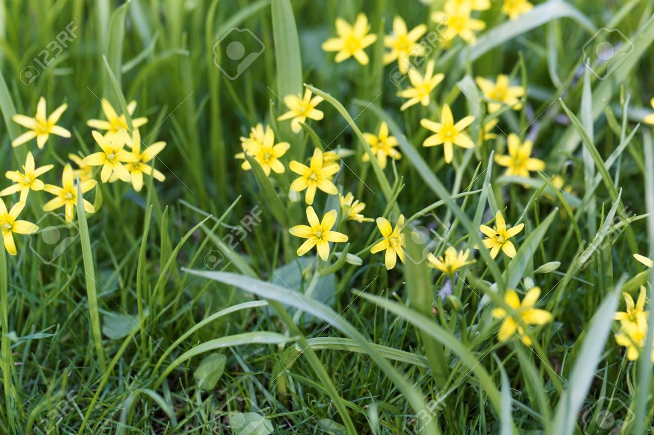 Flowers Of Yellow Star Of Bethlehem Gagea Lutea Plants In A