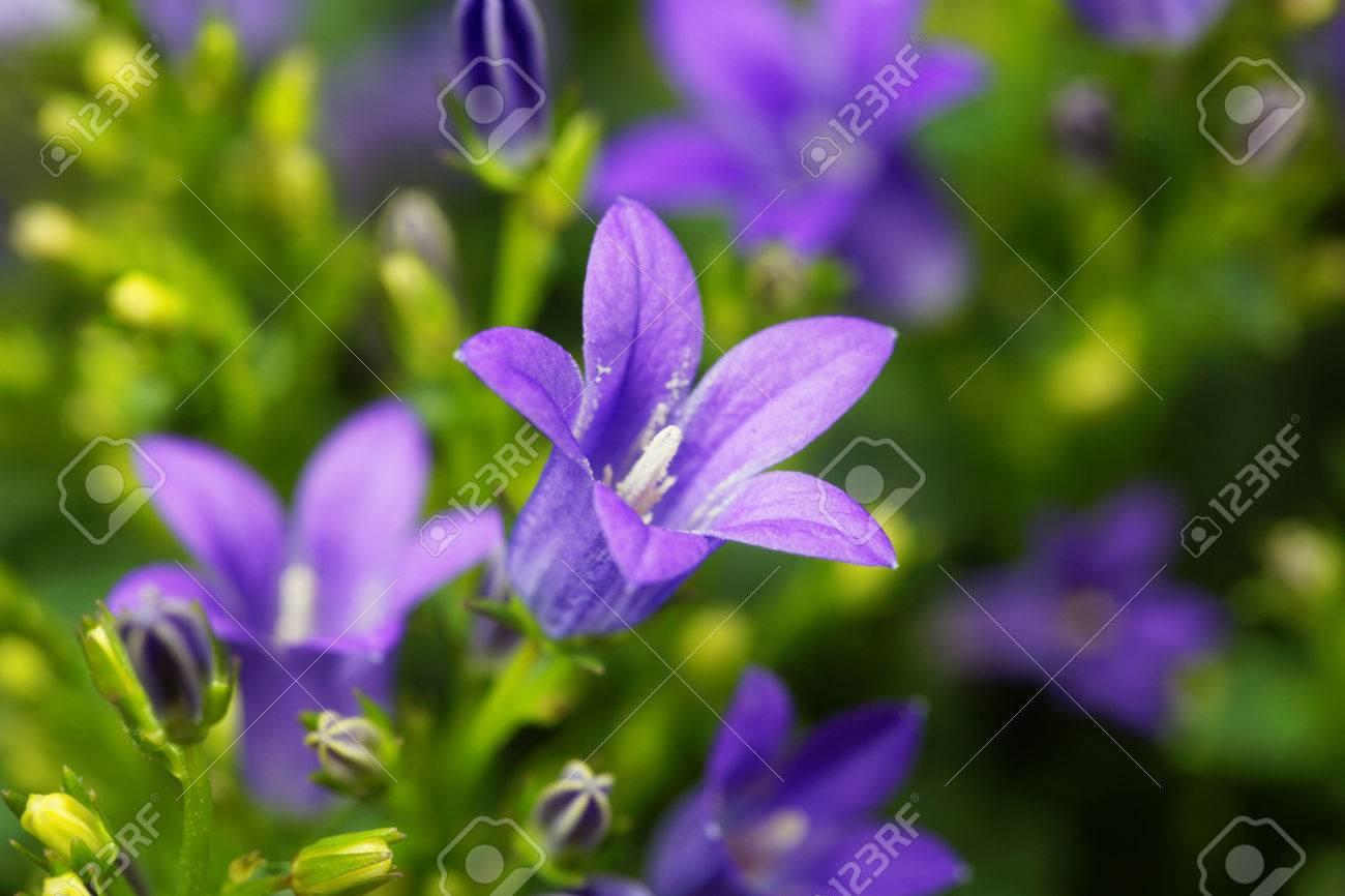 Flowers Of A Dalmatian Bellflower Campanula Portenschlagiana Stock