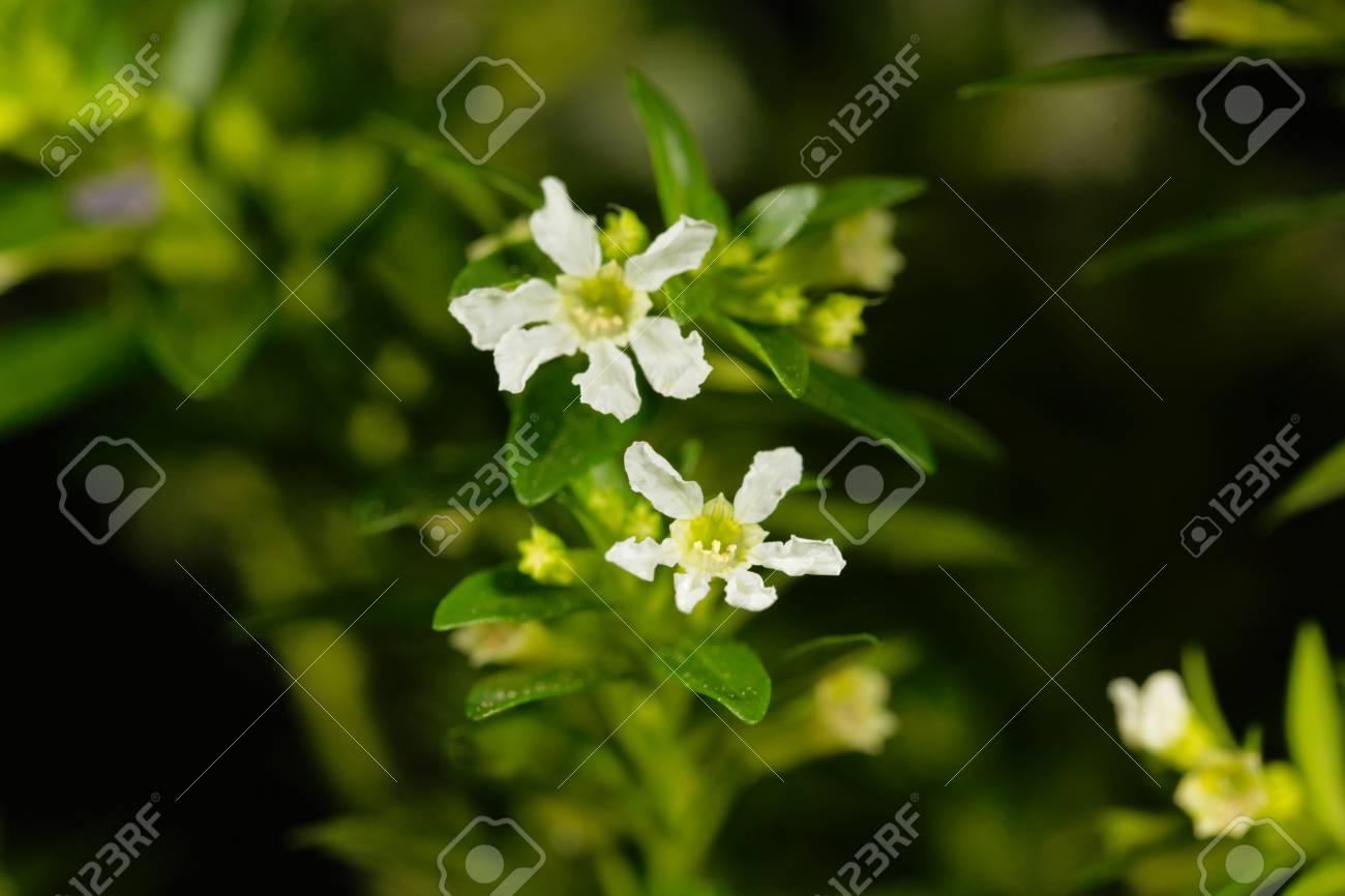 A white flower of false heather cuphea hyssopifolia stock photo a white flower of false heather cuphea hyssopifolia stock photo 79673313 mightylinksfo