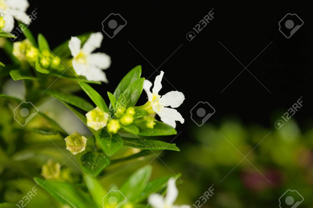 A white flower of false heather cuphea hyssopifolia stock photo a white flower of false heather cuphea hyssopifolia stock photo 79673450 mightylinksfo