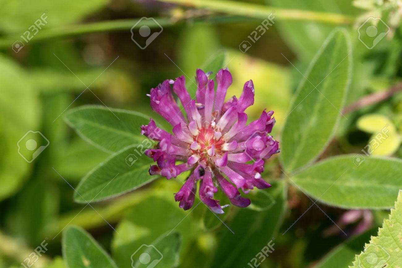 Macro Photo D Une Fleur De Trefle Rouge Trifolium Pratense Banque