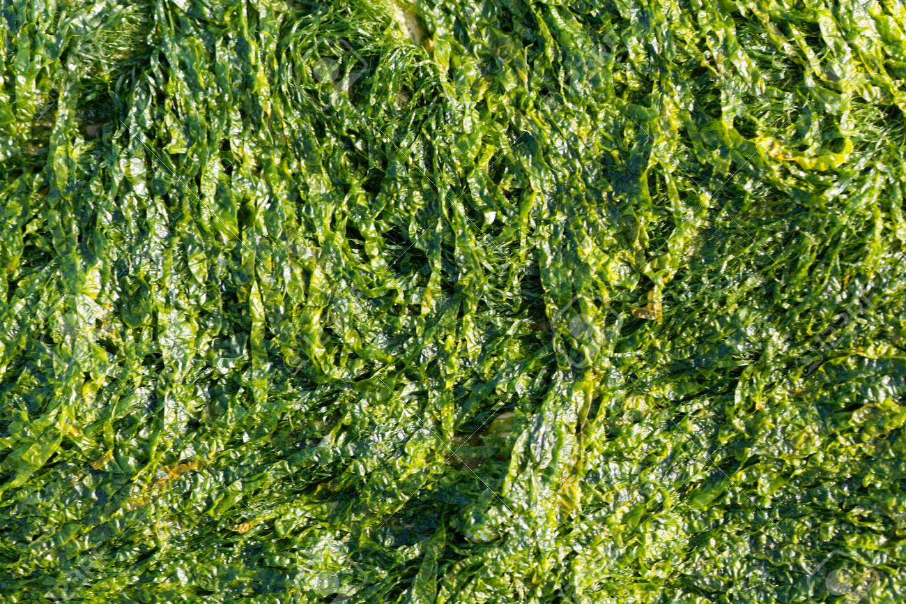 A Macro Photo Of Sea Lettuce Ulva Lactuca As Background Stock