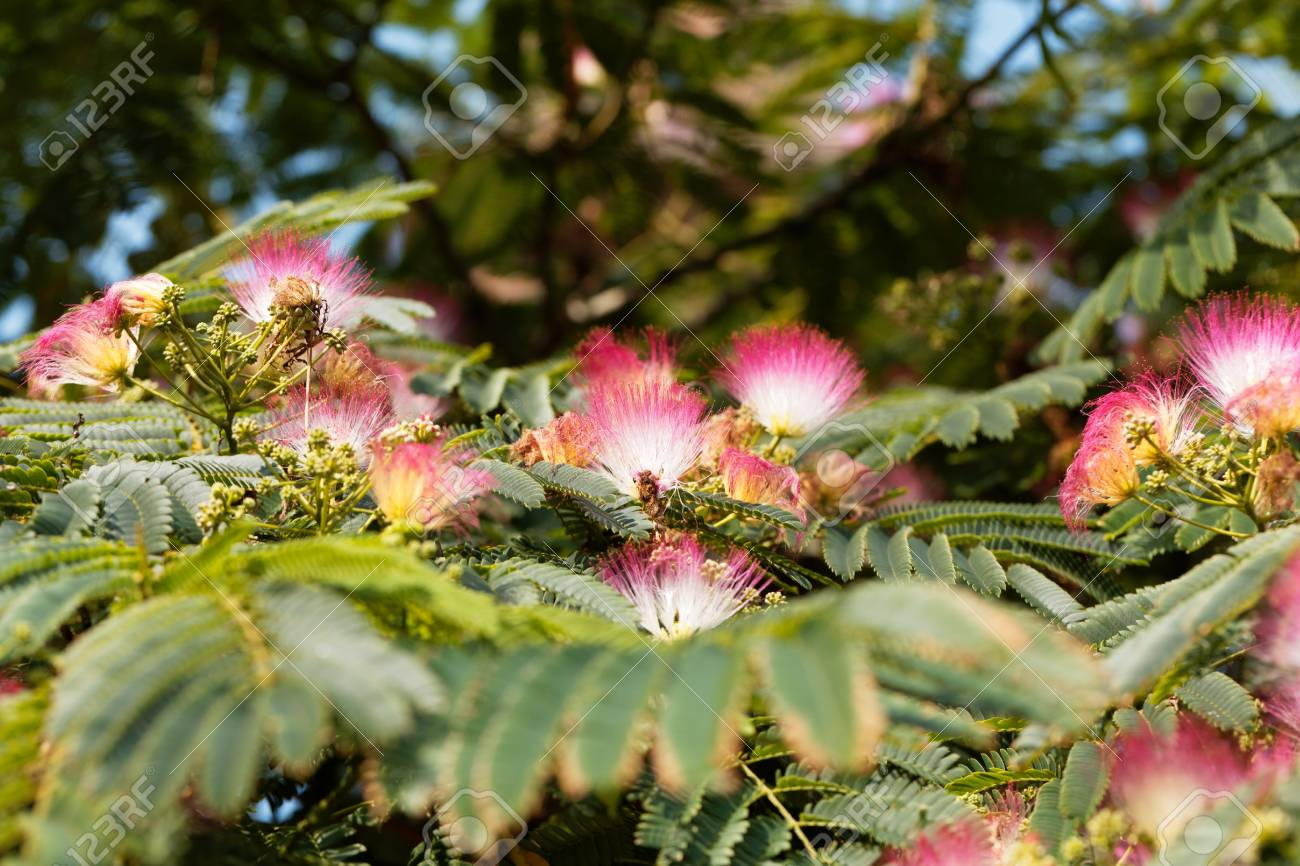 Flowers of a persian silk tree albizia julibrissin stock photo flowers of a persian silk tree albizia julibrissin stock photo 85859230 mightylinksfo