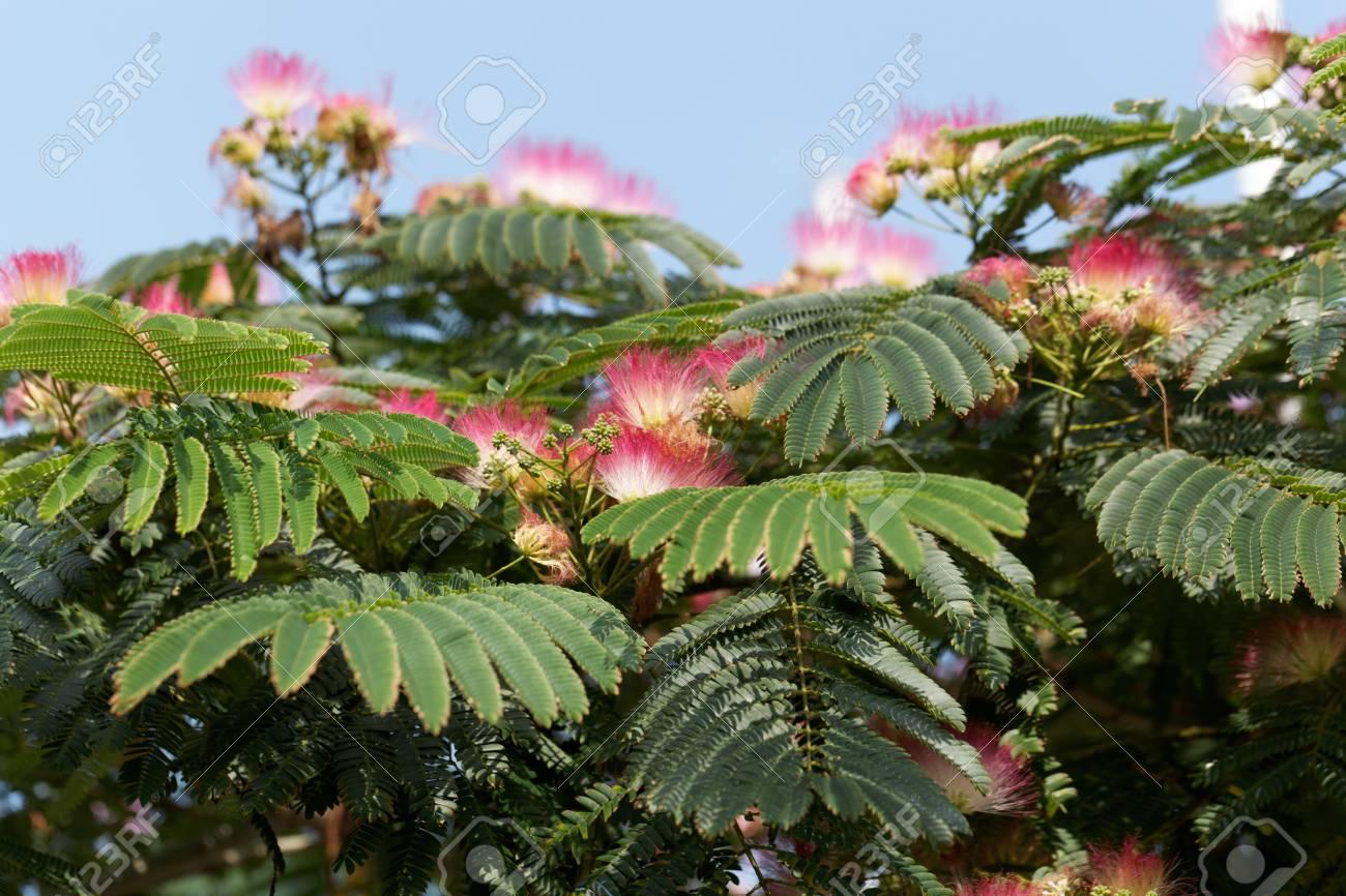 Flowers Of A Persian Silk Tree Albizia Julibrissin Stock Photo