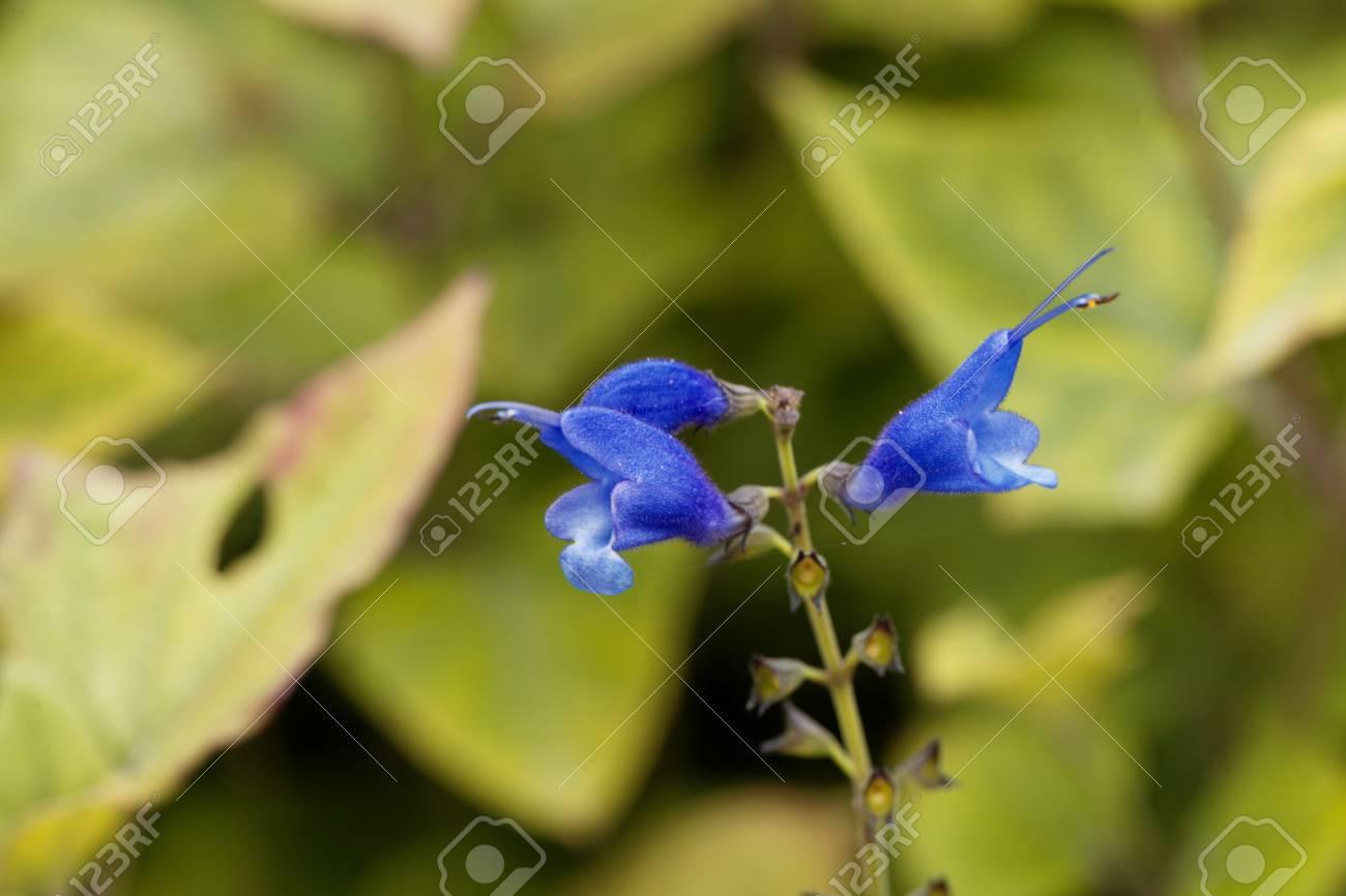 A flower of blue vine sage salvia cacaliifolia stock photo a flower of blue vine sage salvia cacaliifolia stock photo 86499596 izmirmasajfo