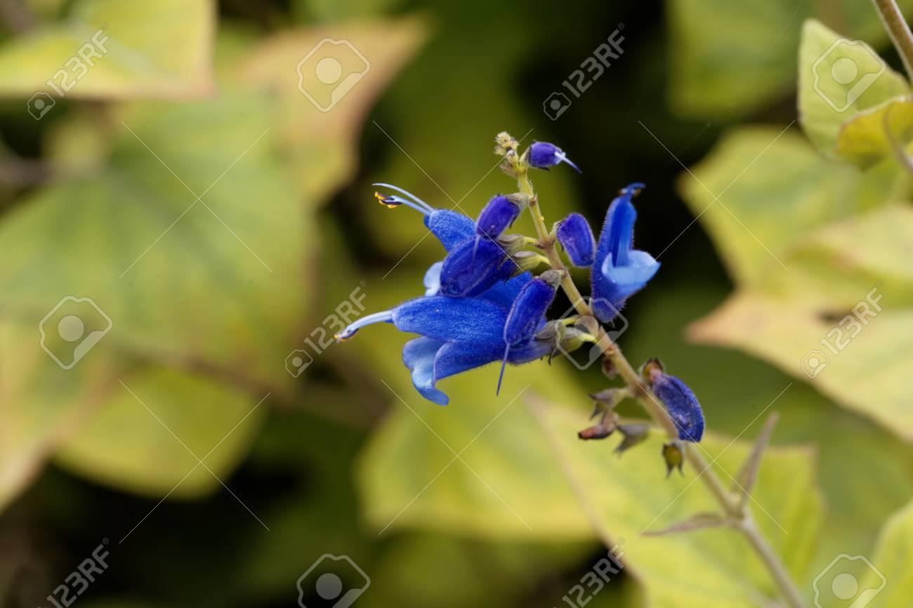 A flower of blue vine sage salvia cacaliifolia stock photo a flower of blue vine sage salvia cacaliifolia stock photo 86499597 izmirmasajfo