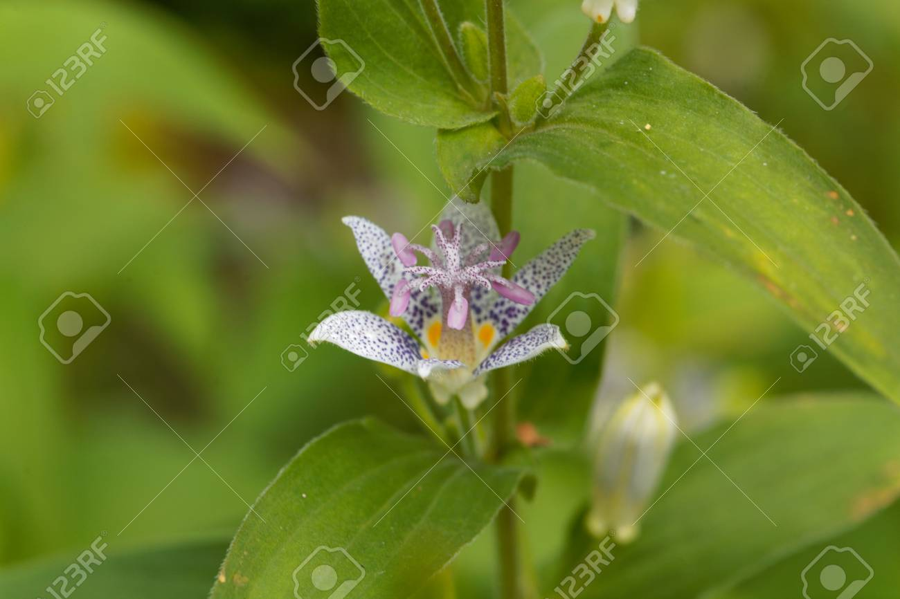 Macro photo of a toad lily flower tricyrtis hirta stock photo macro photo of a toad lily flower tricyrtis hirta stock photo 86732718 izmirmasajfo
