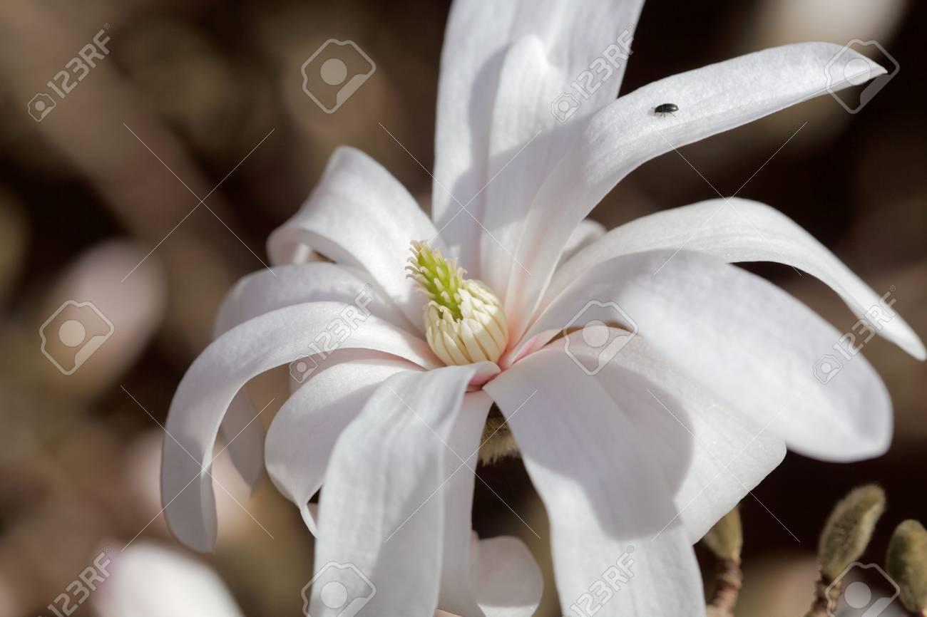 White flowers of the kobus magnolia magnolia kobus from east stock photo white flowers of the kobus magnolia magnolia kobus from east asia mightylinksfo