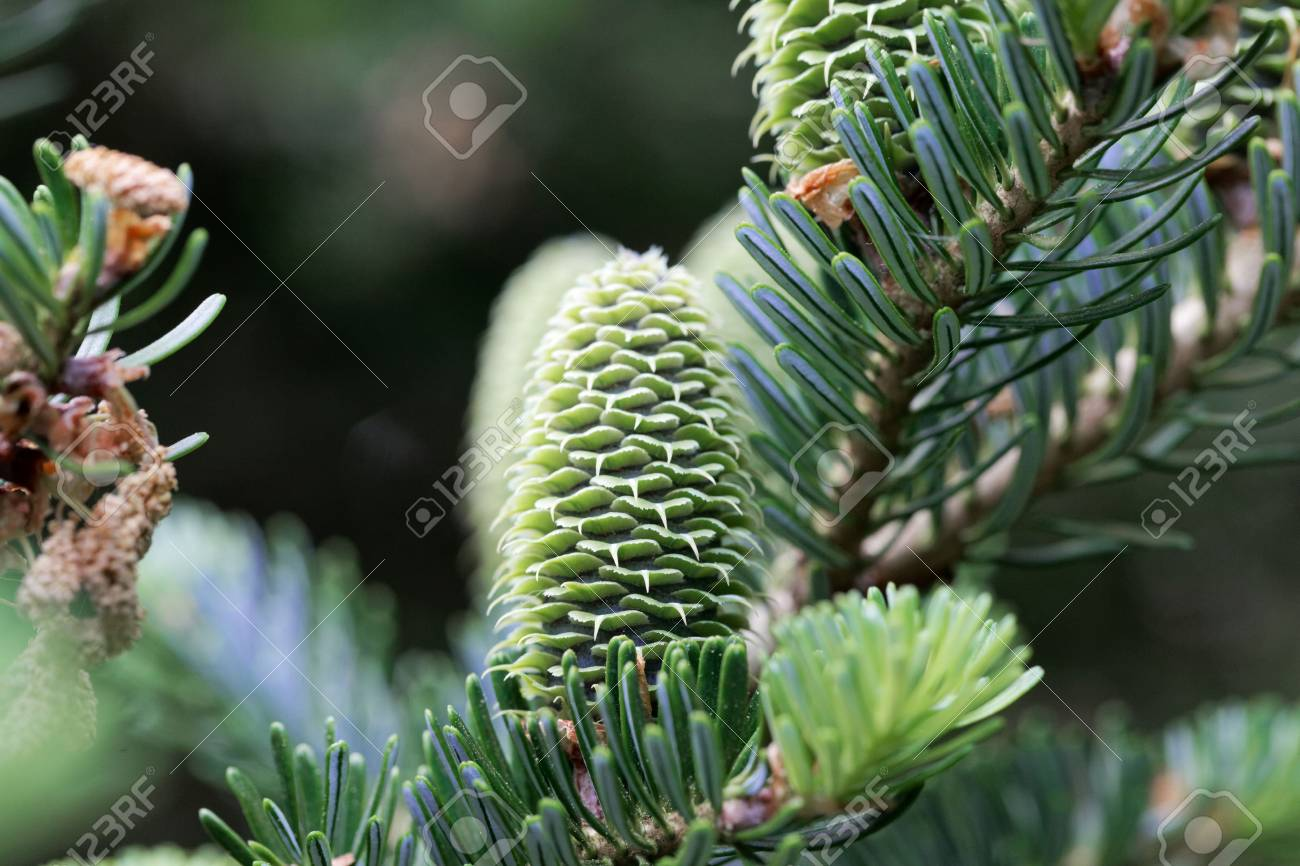 Green Cones Of A Fraser Fir Abies Fraseri Stock Photo Picture And