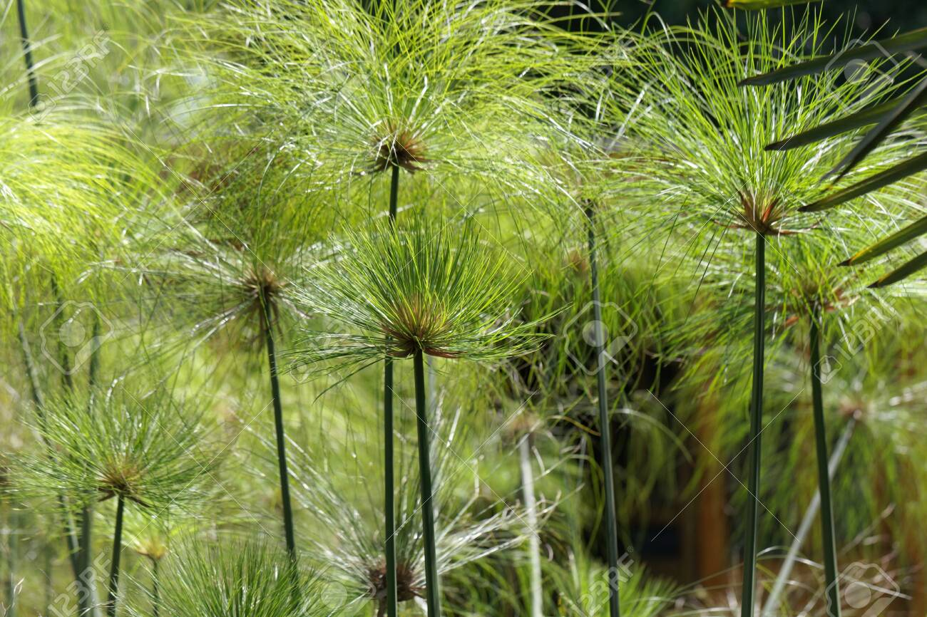 Detail Photo Of Spikes Of Papyrus Sedges, Cyperus Papyrus. Stock Photo, Picture And Royalty Free Image. Image 133280774.