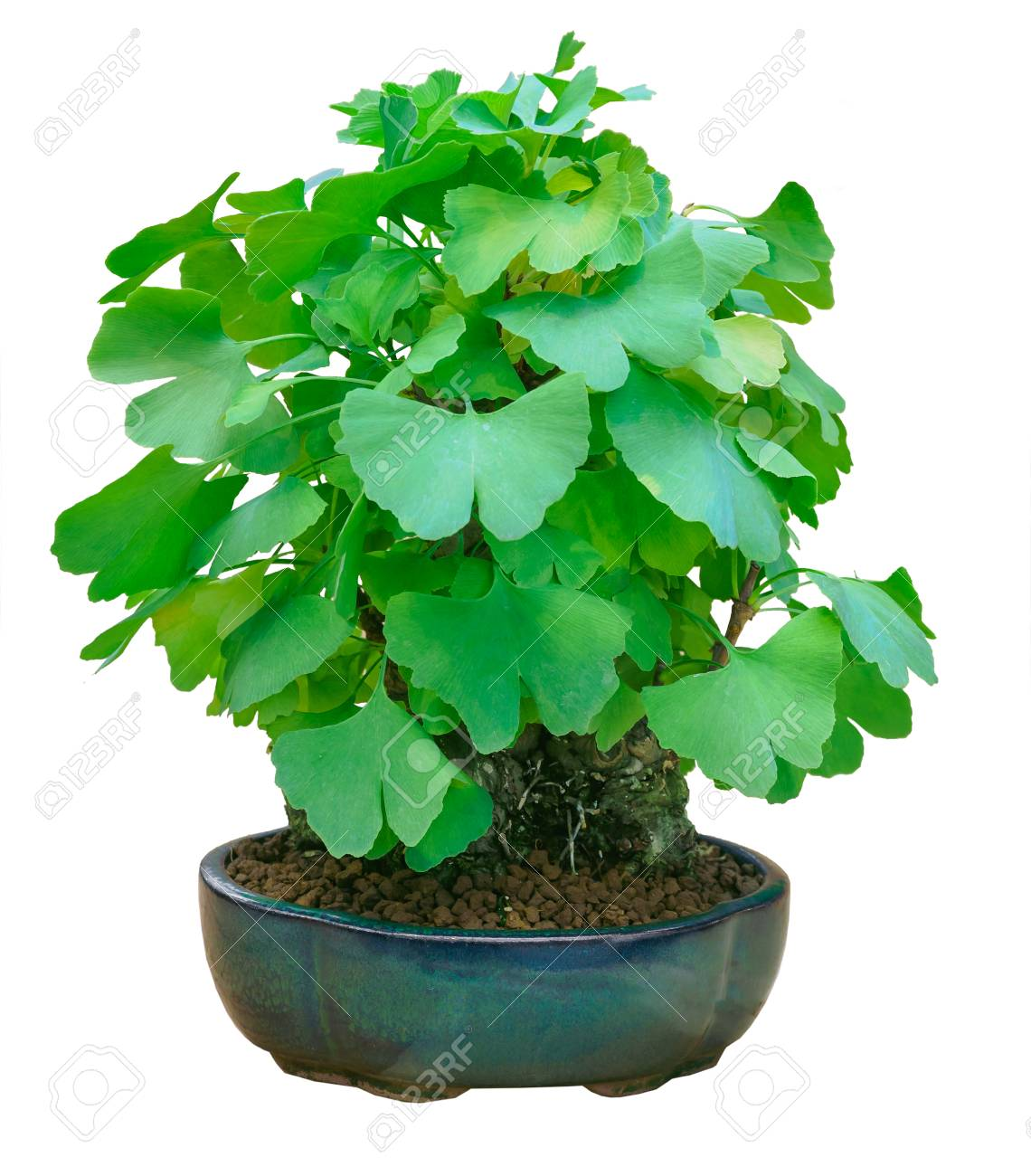 Miniature Green Bonsai Tree Ginkgo Biloba Isolated Stock Photo