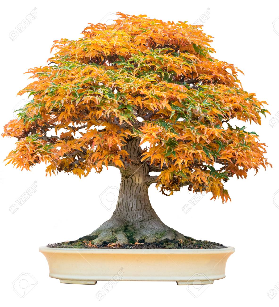 Yellow Bonsai Maple Tree Acer Palmatum Bonsai Tree Of Trident