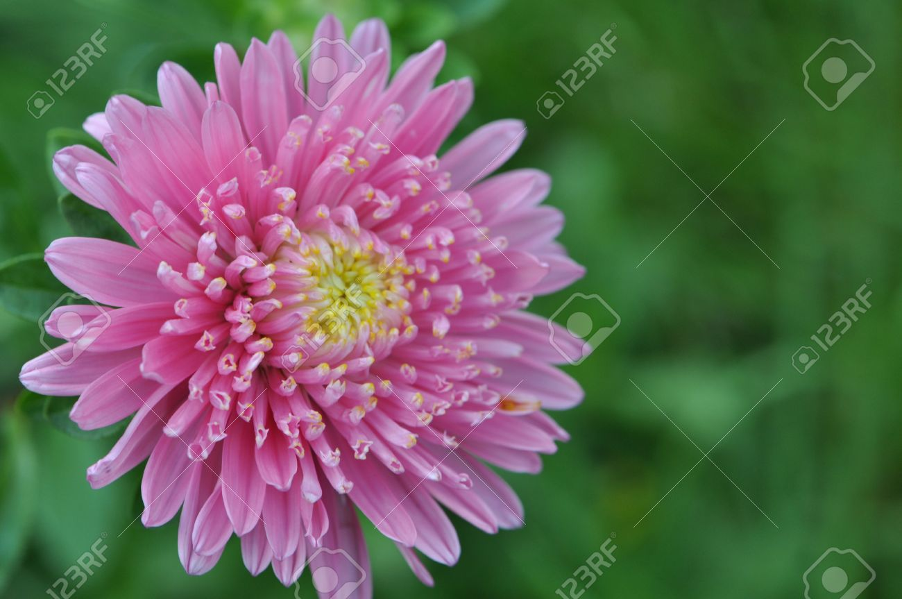pink aster flower stock photo, picture and royalty free image, Beautiful flower