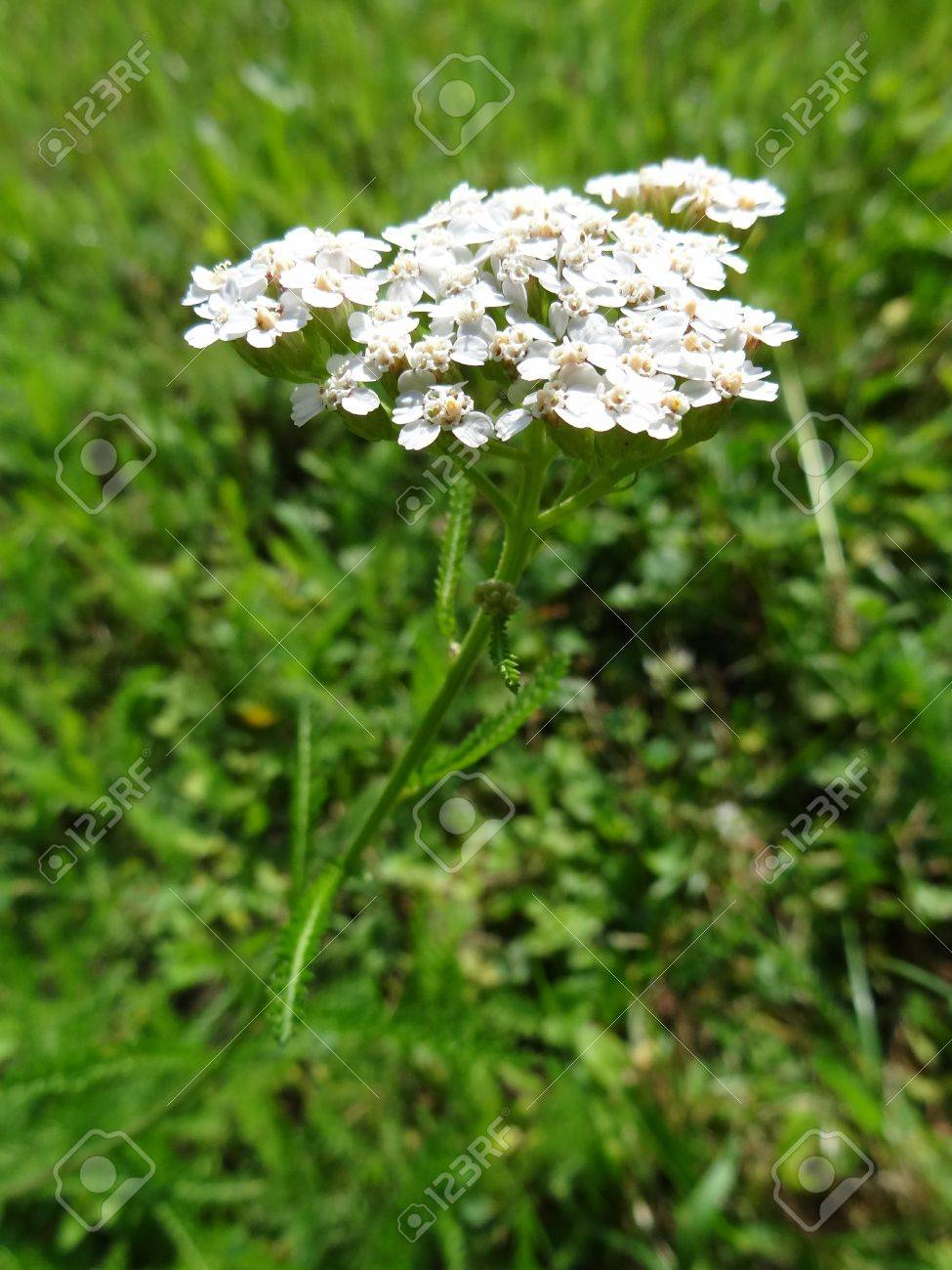 Blooming Common Yarrow (Achillea Millefolium) Stock Photo - 14648495
