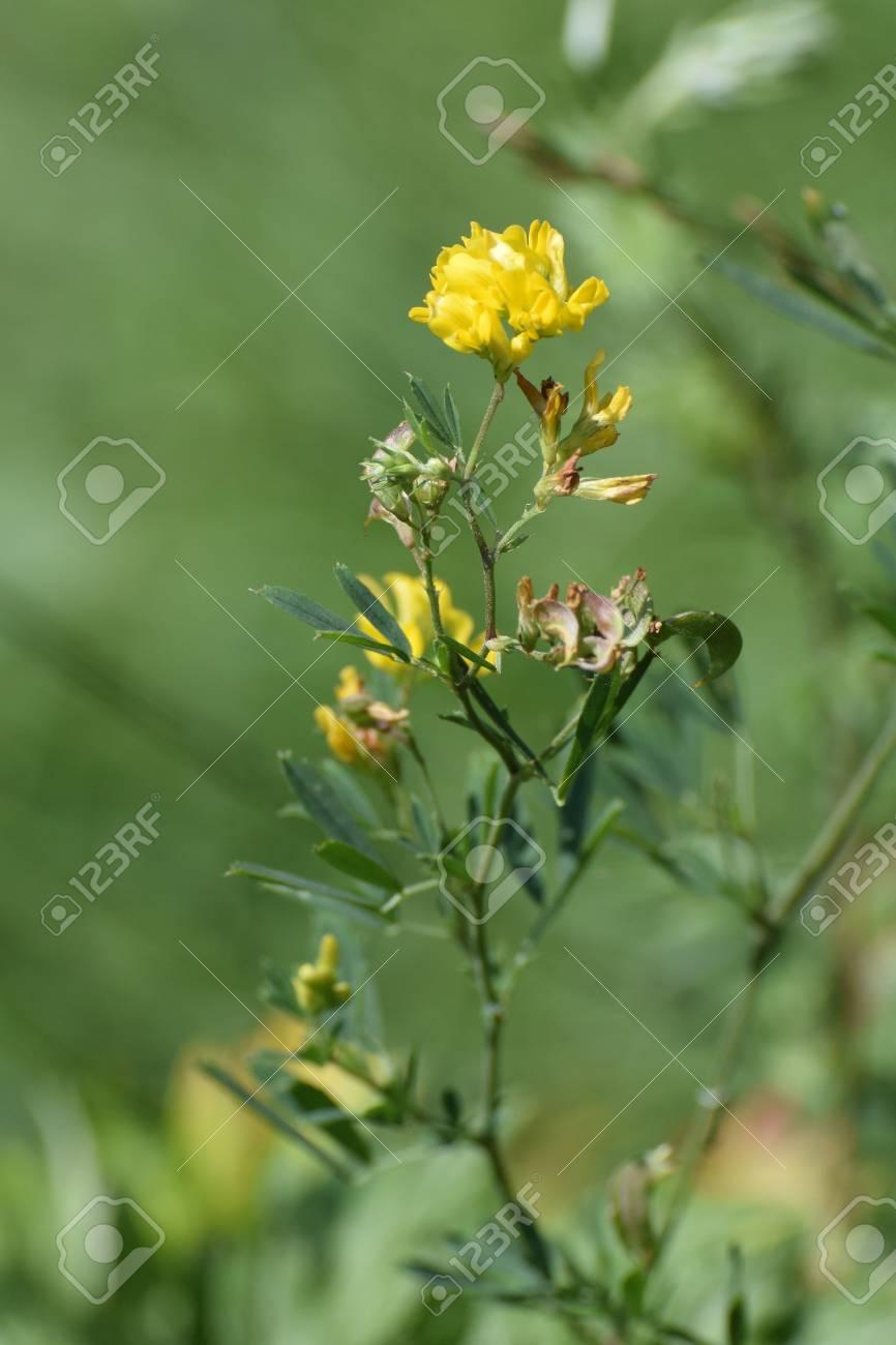Yellow lucerne sickle alfalfa or sickle medick medicago falcata stock photo yellow lucerne sickle alfalfa or sickle medick medicago falcata in the meadow mightylinksfo
