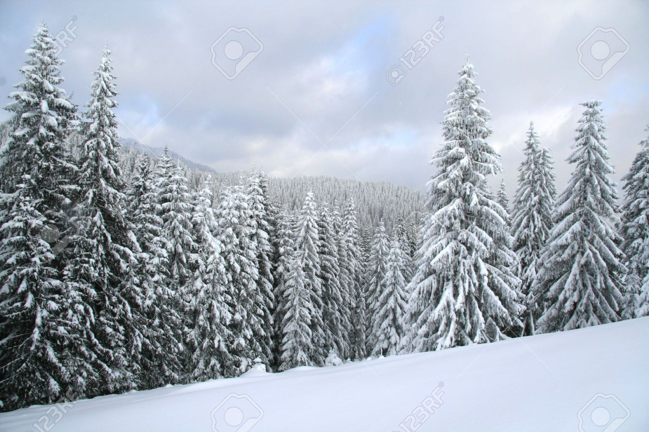 Christmas Forest.Snow Covered Christmas Forest Snow Covered Spruce Trees And