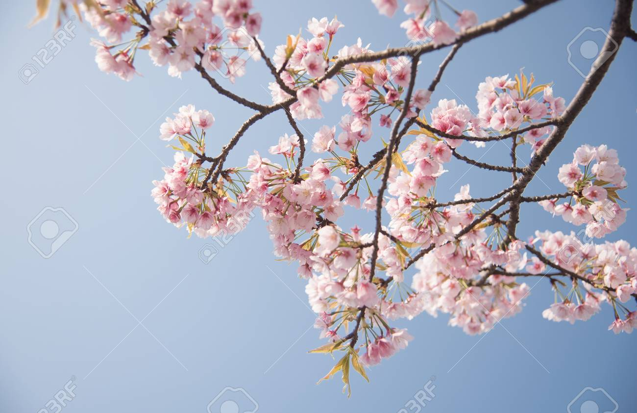The cherry blossoms are in full bloom in the park. - 111011458