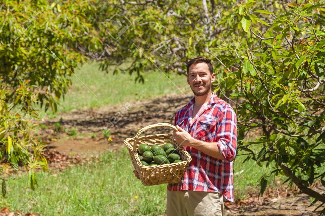 Junger landwirt bei der arbeit  Junger Landwirt Mit Frisch Gepflückten Korb Von Avocados ...