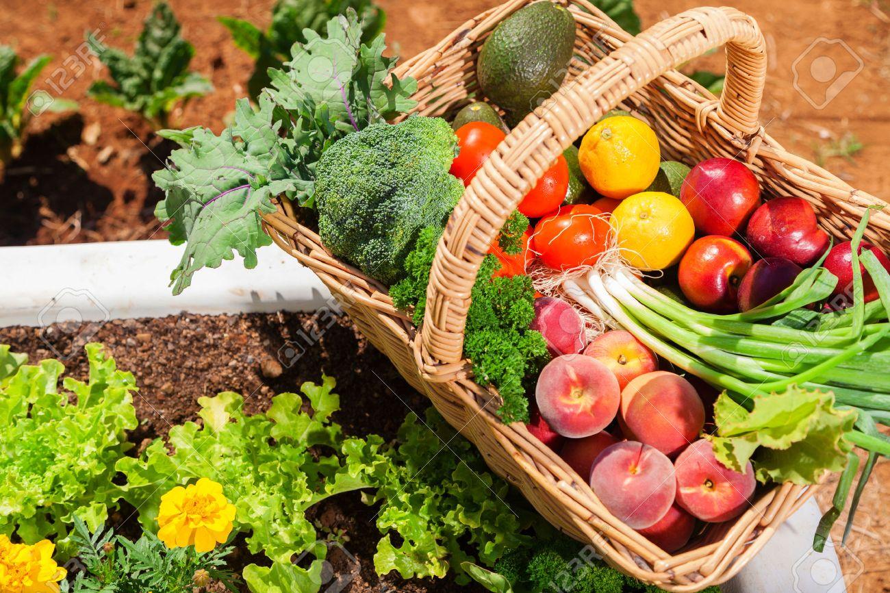 Basket of fresh organic fruit and vegetables in garden Standard-Bild - 33276665