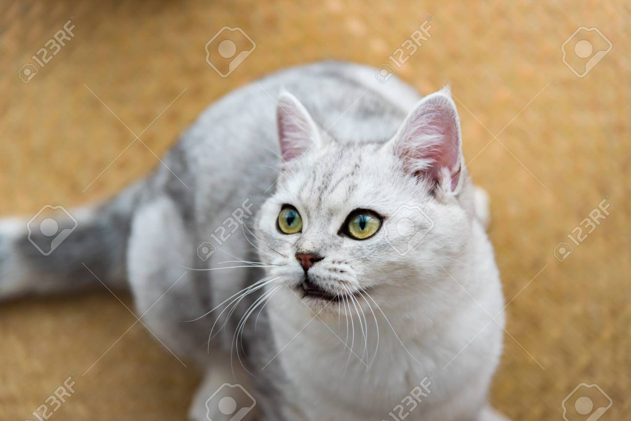 Close Up Of Beautiful Light Grey Cat Play And Looking In Home