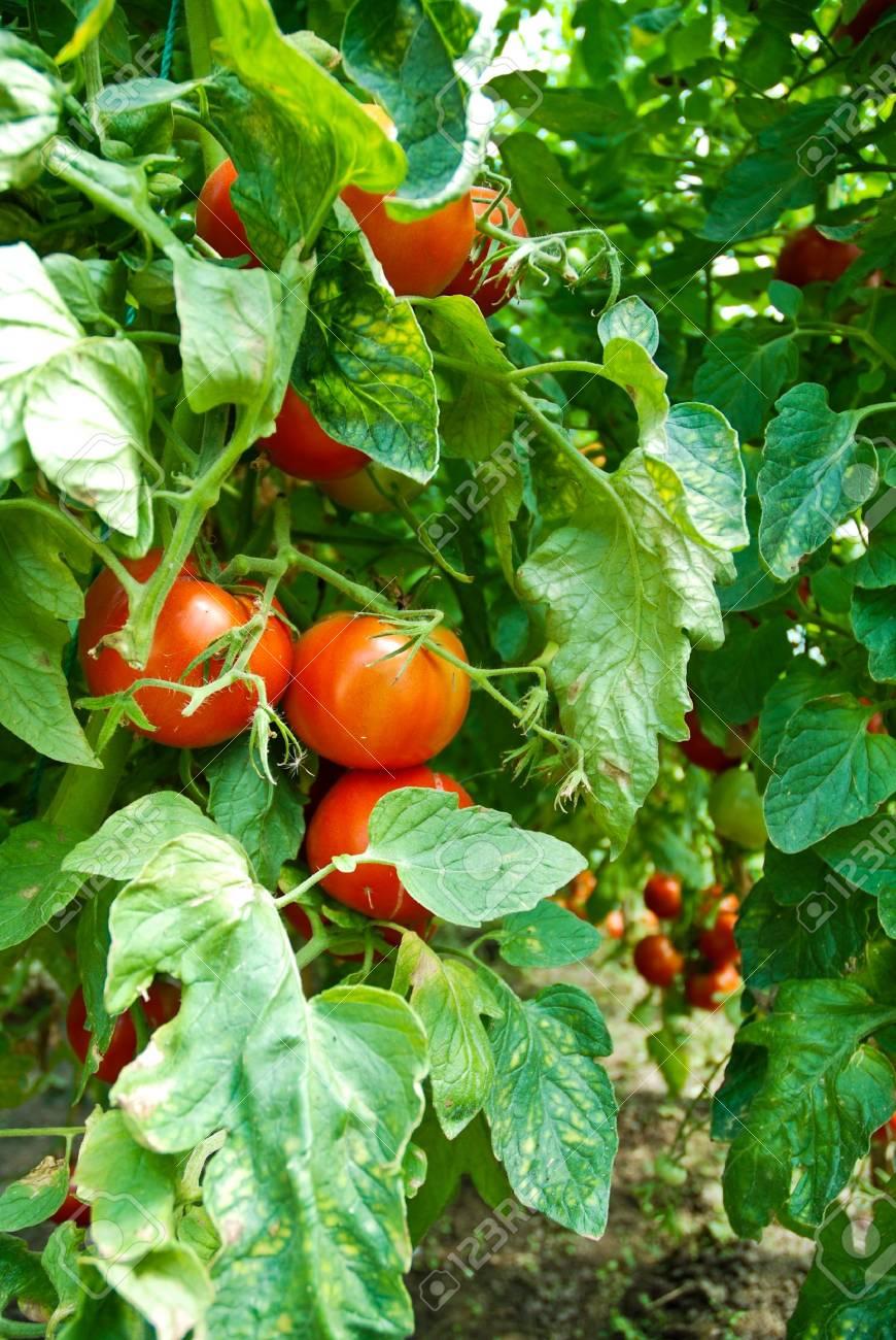 Organic Homegrown Tomatoes Stock Photo - 6319460