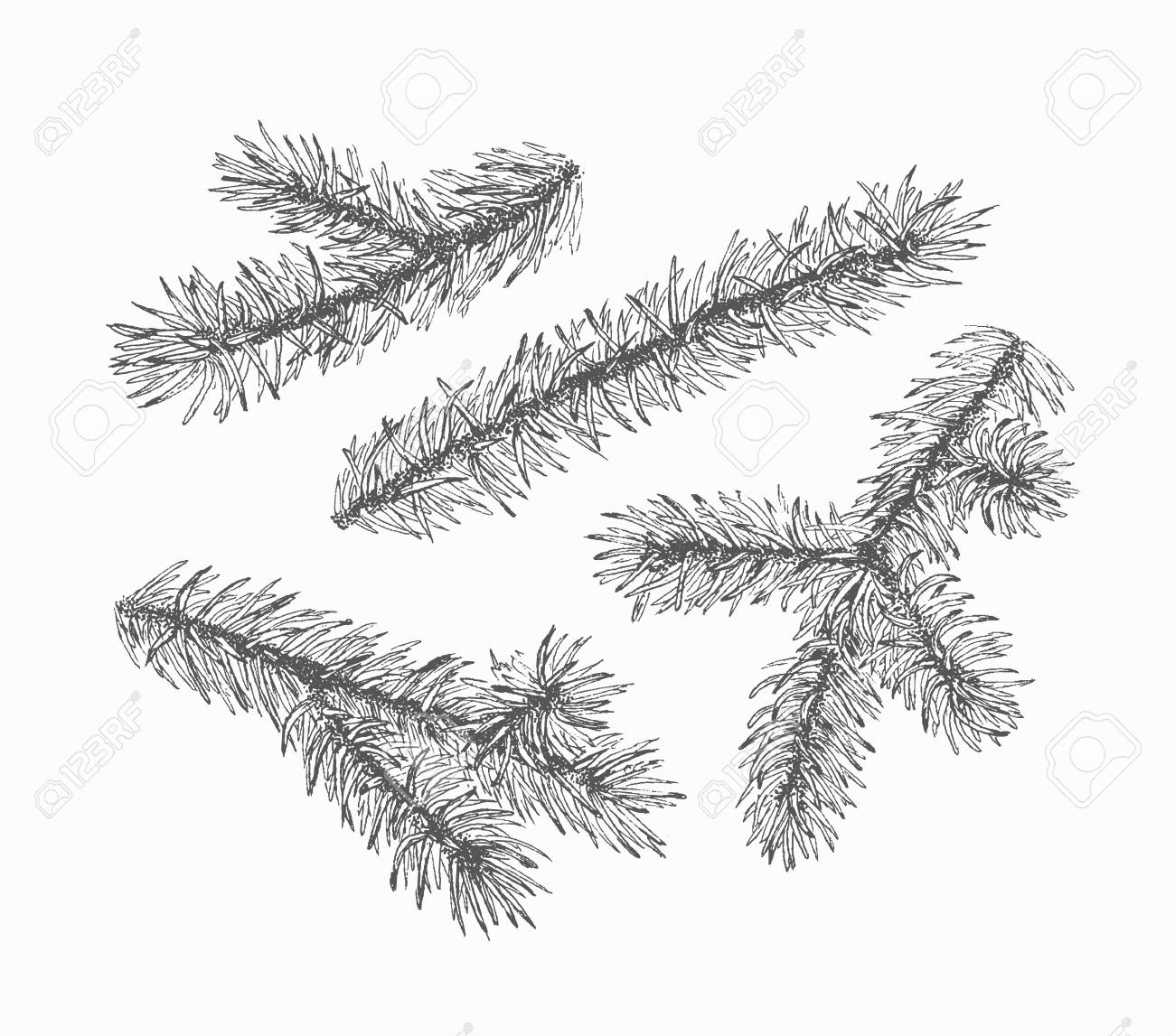 Christmas Branch Vector.Monochromatic Empty Firtree Branches Vector Set Of Isolated
