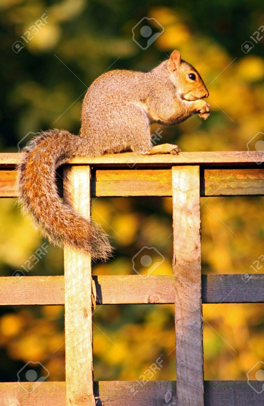Grey Squirrel sitting on a garden fence eating a nut Stock Photo - 5796287