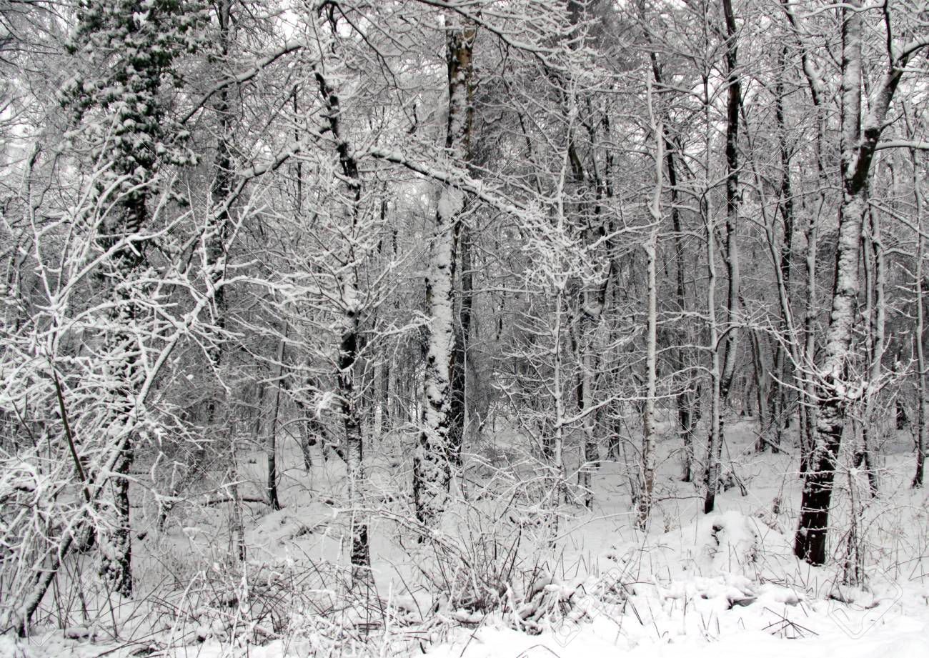 Cold winter landscape of forest trees under a blanket of heavy snow Stock Photo - 6408781