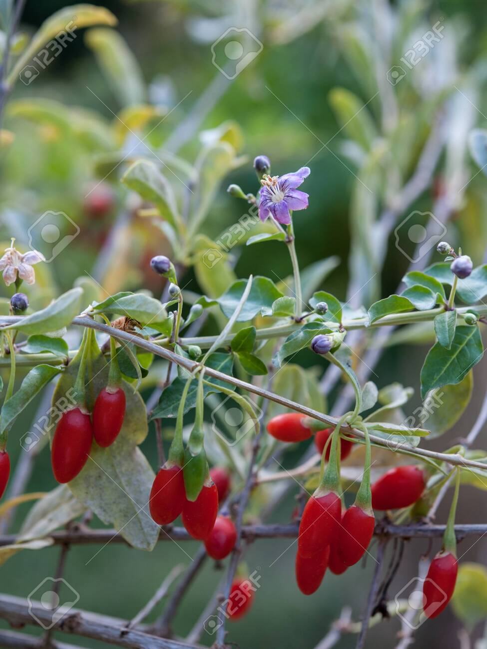 Lycium Barbarum Plant Goji Berry And Derived Products Became