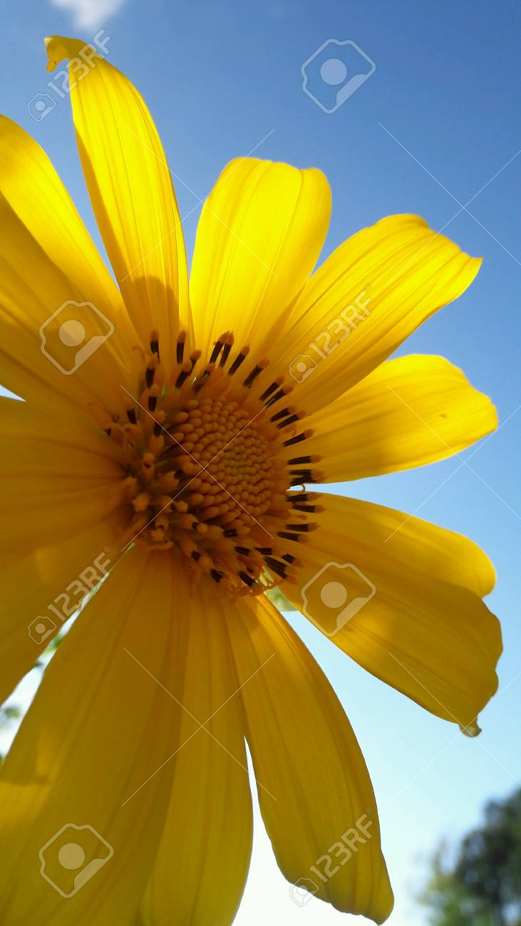 Yellow flowers called the lotus the thailand plant mae hong son stock photo yellow flowers called the lotus the thailand plant mae hong son province mightylinksfo