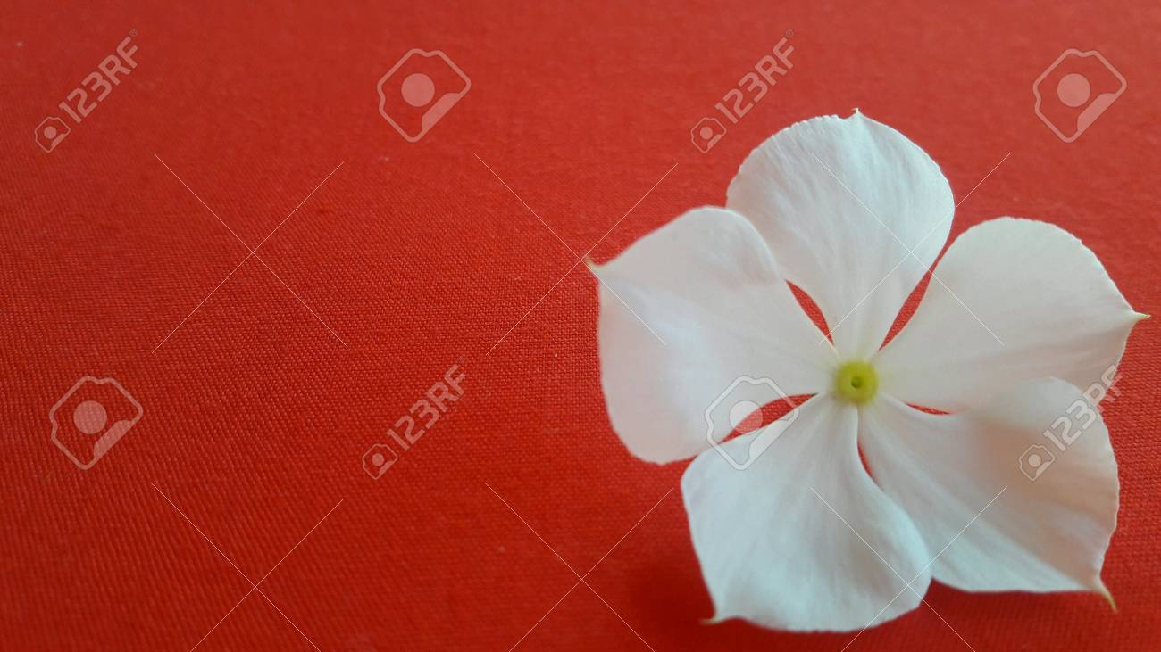 White Flowers On A Red Background Stock Photo Picture And Royalty