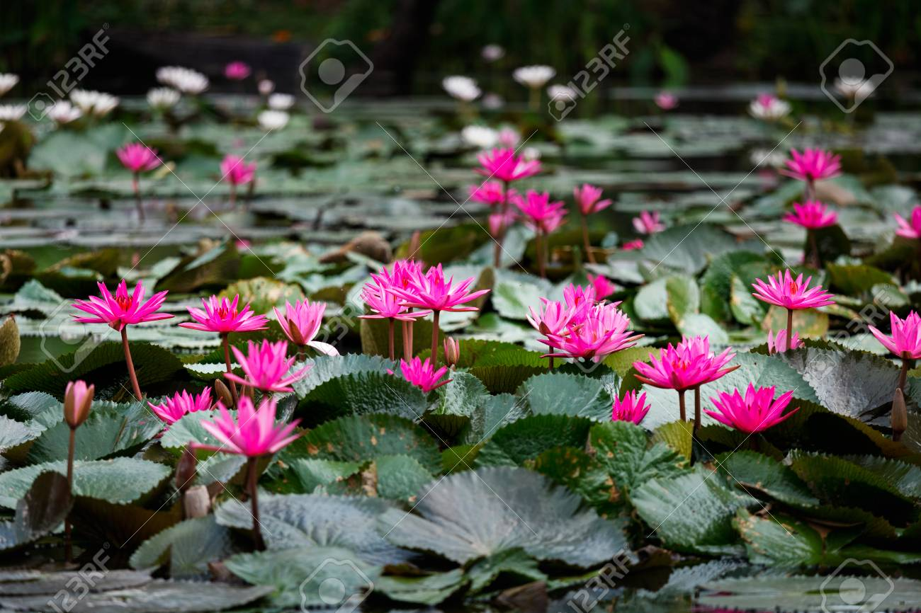 Blossom Pink Lotuses Or Water Lily Which Is Symbolic Of Purity