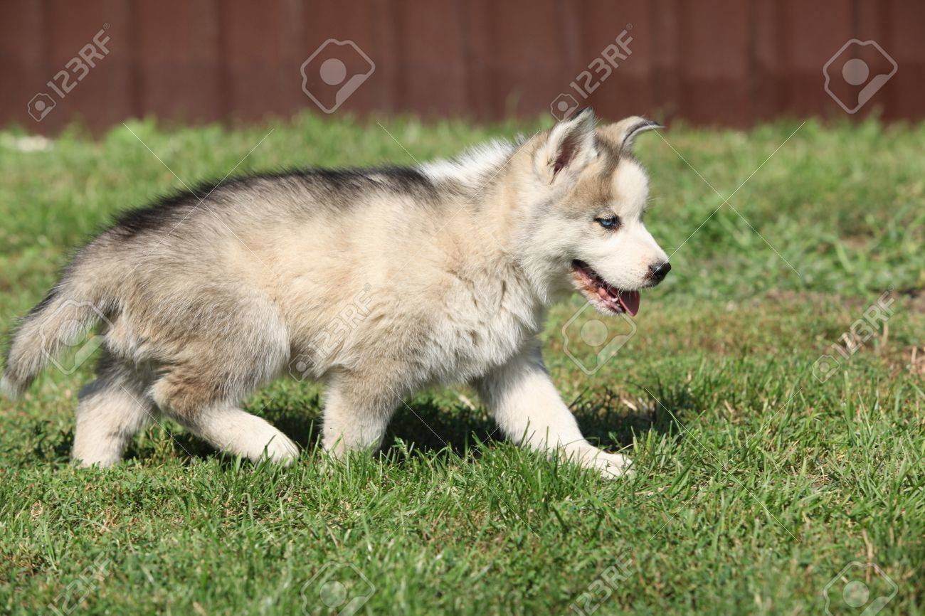 Siberian Husky Puppy Moving On Green Grass Stock Photo Picture And