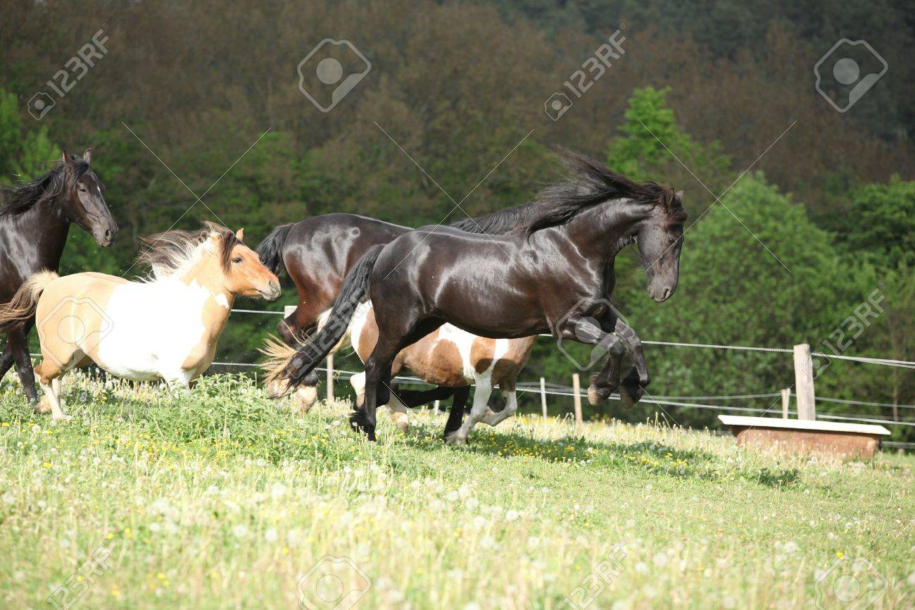 Black Friesian Horse Jumping While Its Ahead Stock Photo Picture And Royalty Free Image Image 18857621