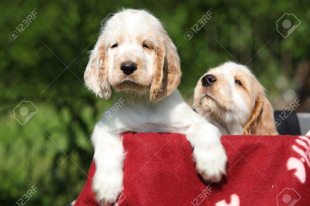 Gorgeous English Cocker Spaniel Puppies Behind Red Blanket Stock Photo Picture And Royalty Free Image Image 19053505