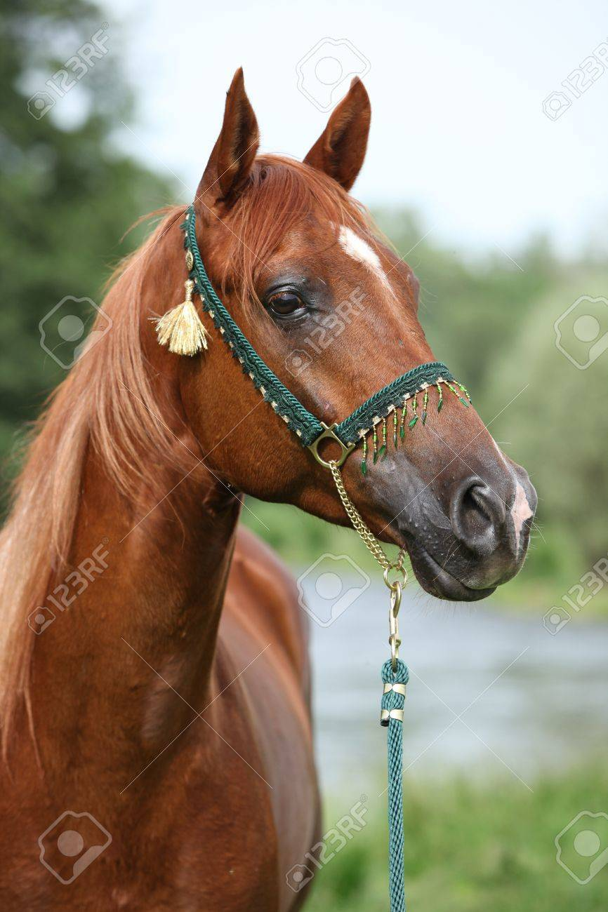 Beautiful Arabian Horse With Nice Show Halter In Front Of River Stock Photo Picture And Royalty Free Image Image 19053925