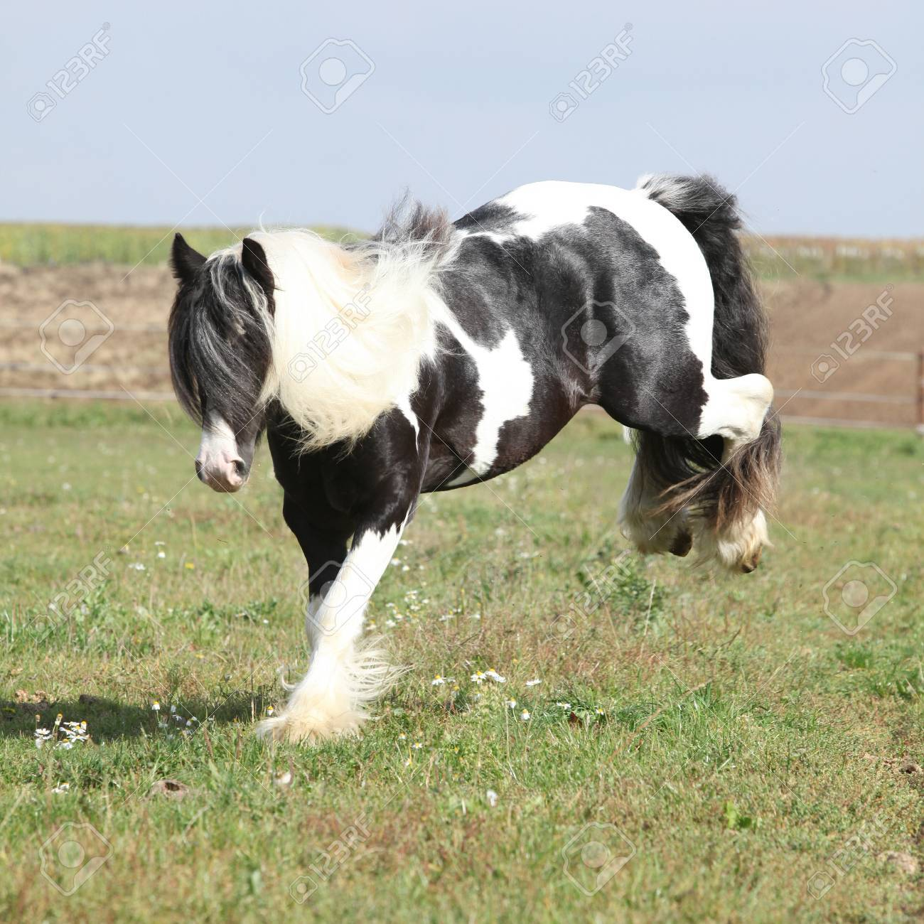 Gorgeous Irish Cob With Long Mane Jumping On Pasturage Stock Photo Picture And Royalty Free Image Image 23246140