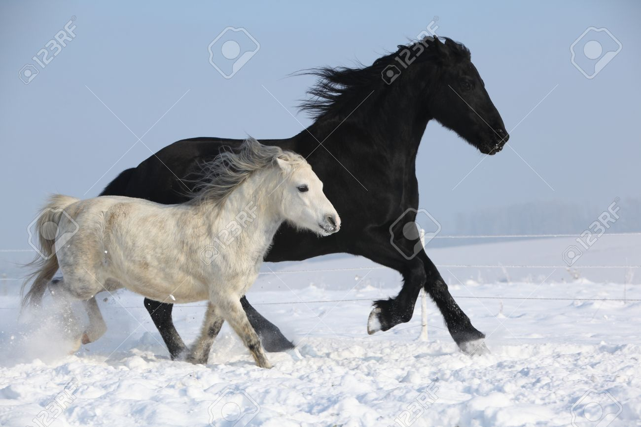 Black Horse And White Pony Running Together In Winter Stock Photo Picture And Royalty Free Image Image 24068510