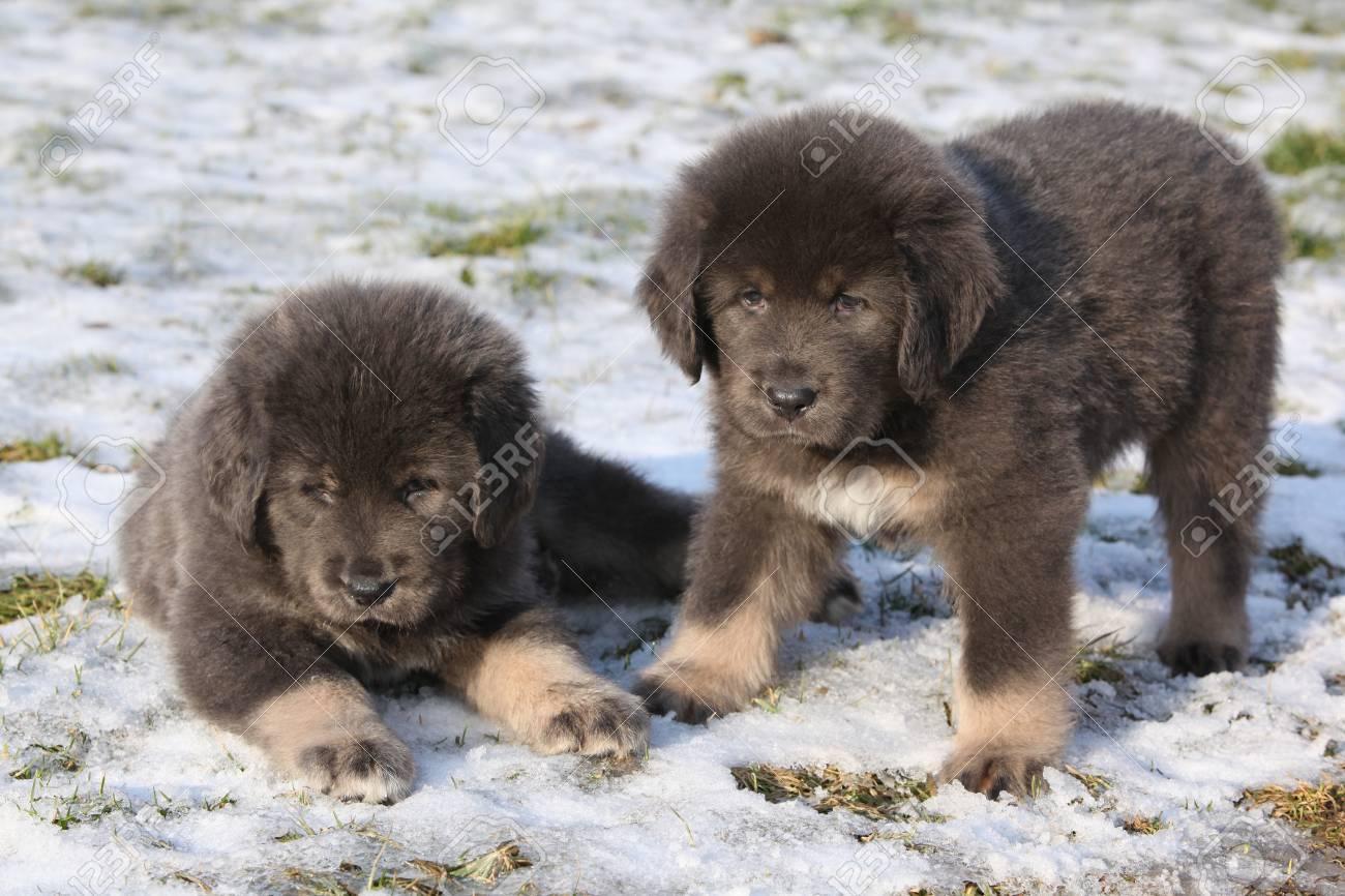 Amazing puppies of Tibetan mastiff sitting in winter