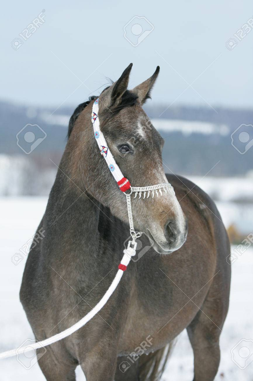 Nice Arabian Horse With Beautiful Show Halter In Winter Stock Photo Picture And Royalty Free Image Image 24673850