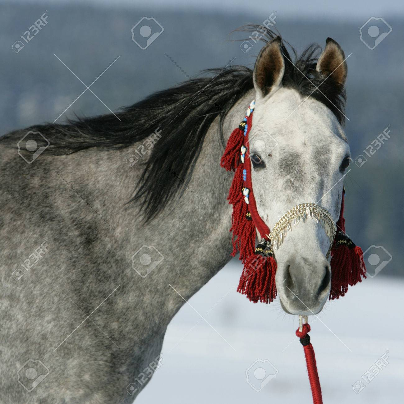 Nice Arabian Horse With Beautiful Show Halter In Winter Stock Photo Picture And Royalty Free Image Image 24673861