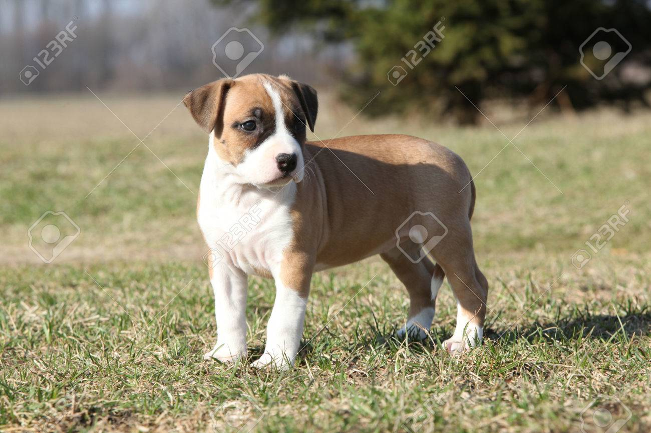 Gorgeous little puppy of American Staffordshire Terrier standing alone in nature Stock Photo - 25928996
