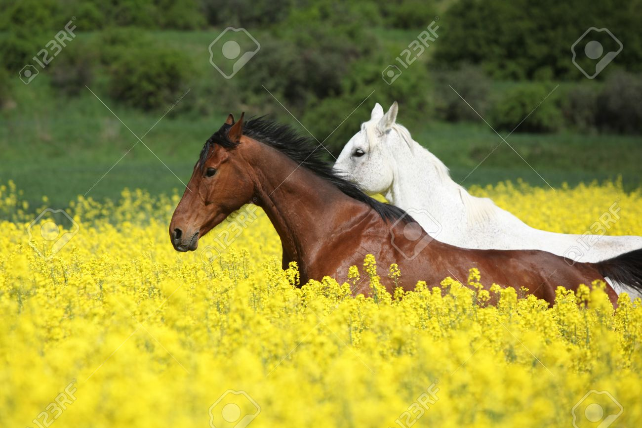 Amazing brown and white horses running in yellow flowers stock photo amazing brown and white horses running in yellow flowers stock photo 30072848 mightylinksfo