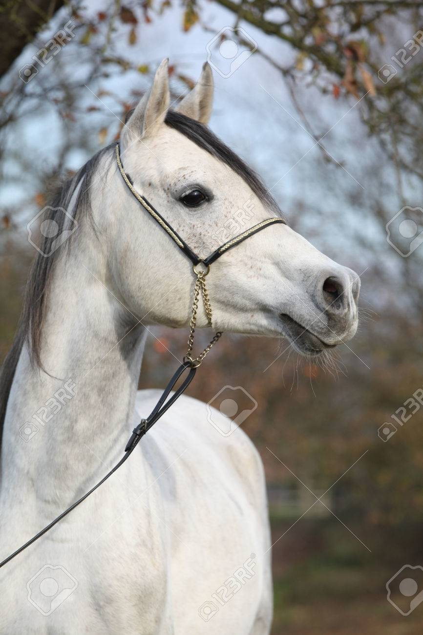 Portrait Of Amazing Arabian Horse With Show Halter In Autumn Stock Photo Picture And Royalty Free Image Image 39262721
