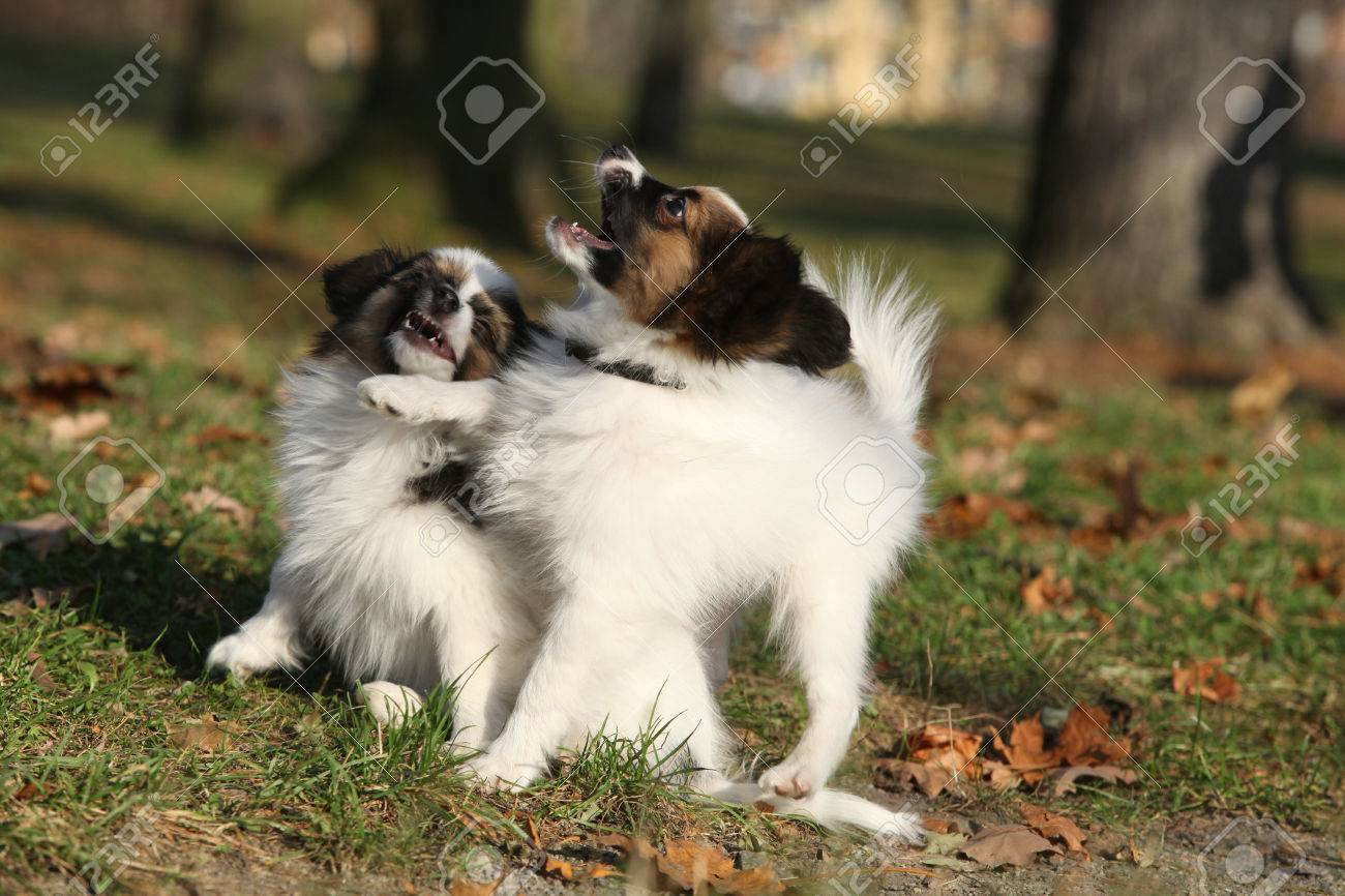Fantastic Papillon Canine Adorable Dog - 39299157-adorable-papillon-puppies-playing-together-in-autumn  Picture_314255  .jpg