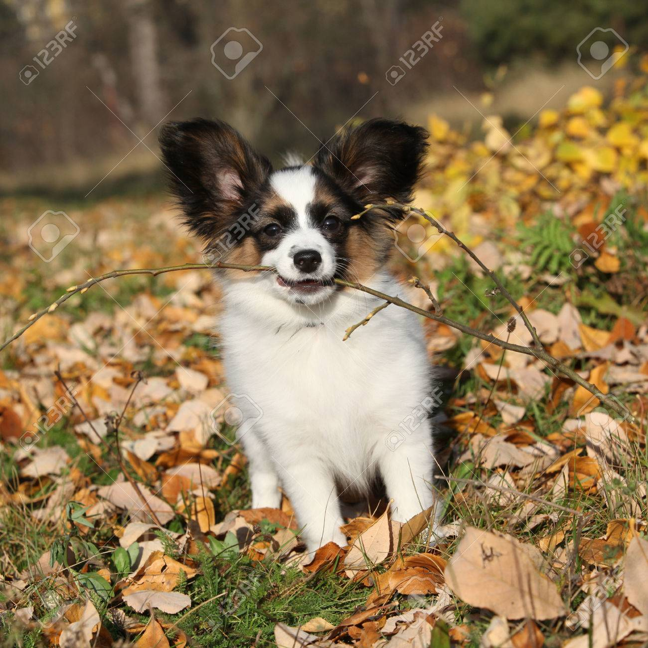 Fantastic Papillon Canine Adorable Dog - 40046151-adorable-papillon-puppy-playing-with-a-stick-in-autumn  Picture_314255  .jpg